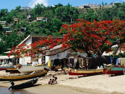 Beach with Flamboyant Tree on Anse la Raye, Anse la Raye-Holger Leue-Photographic Print