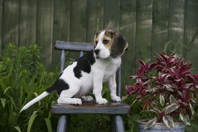 Beagle 49-Bob Langrish-Photographic Print