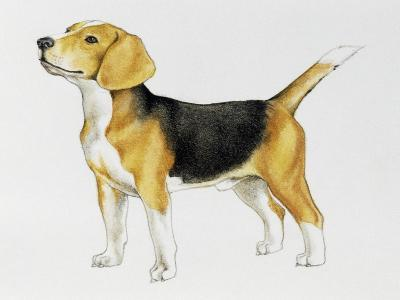 Beagle (Canis Lupus), Canidae, Drawing--Giclee Print