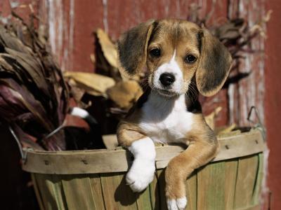 Beagle Dog Puppy-Lynn M^ Stone-Photographic Print