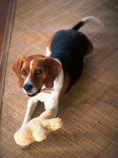 Beagle Dog with His Stuffed Animal-Lonnie Duka-Photographic Print