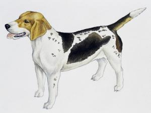 Beagle Harrier (Canis Lupus), Canidae, Drawing