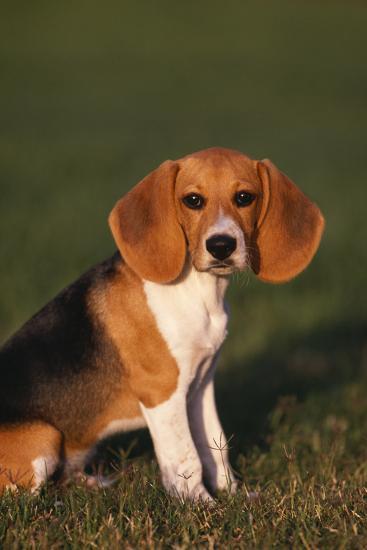 Beagle in Grass-DLILLC-Photographic Print