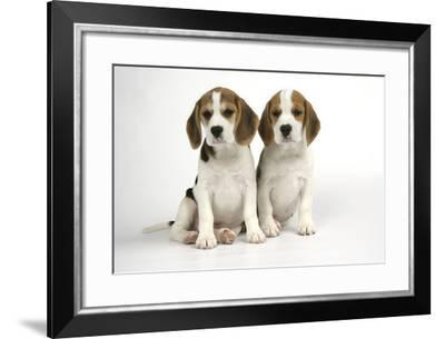 Beagle Puppies Sitting Down--Framed Photographic Print