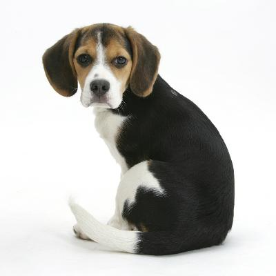 Beagle Puppy, Florrie, 4 Months, Sitting, Looking over Her Shoulder-Mark Taylor-Photographic Print