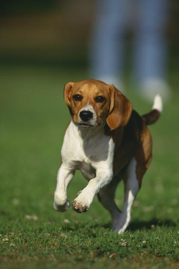 Beagle Running in Grass-DLILLC-Photographic Print
