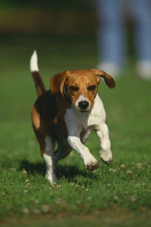 https://imgc.artprintimages.com/img/print/beagle-running-in-grass_u-l-pzr3670.jpg?p=0