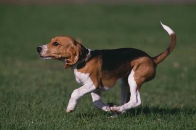 Beagle Running in Grass-DLILLC-Photographic Print