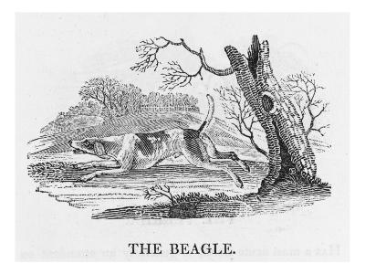 Beagle--Giclee Print