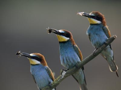 Beaks Replete with Prey, a Trio of Bee Eaters Eye their Nearby Nests-Jozsef Szentpeteri-Photographic Print