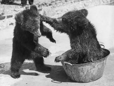 Bear Baiting--Photographic Print