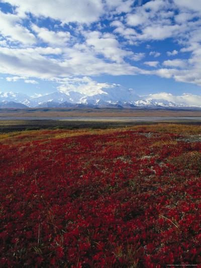Bear Berries, Mt. Mckinley, AK-John Luke-Photographic Print