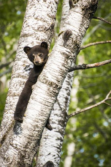 Bear Cub in Tree II-Beth Wold-Photographic Print