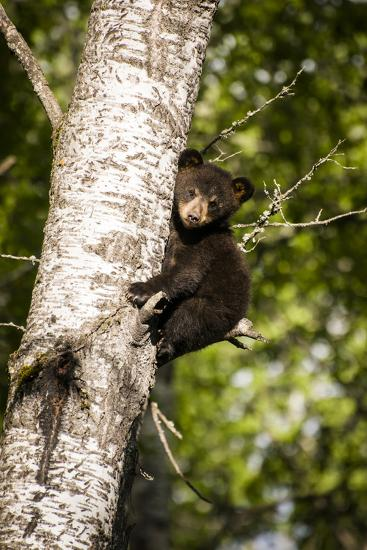 Bear Cub in Tree IV-Beth Wold-Photographic Print