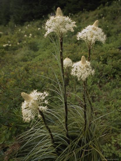 Bear Grass Flowers, Mount Hood National Forest, Oregon-Phil Schermeister-Photographic Print
