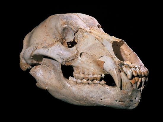 Bear Skull, Sima De Los Huesos-Javier Trueba-Photographic Print