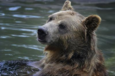 Bear-Gordon Semmens-Photographic Print