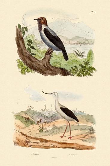 Bearded Bellbird, 1833-39--Giclee Print