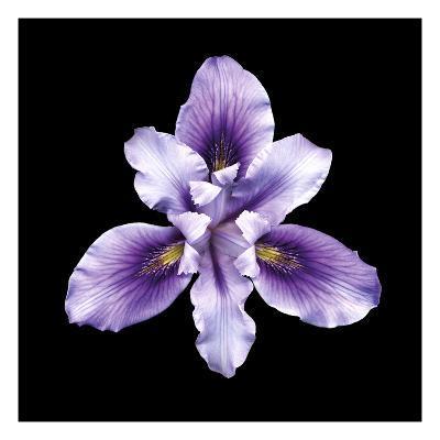 Bearded Iris-JoSon-Premium Giclee Print