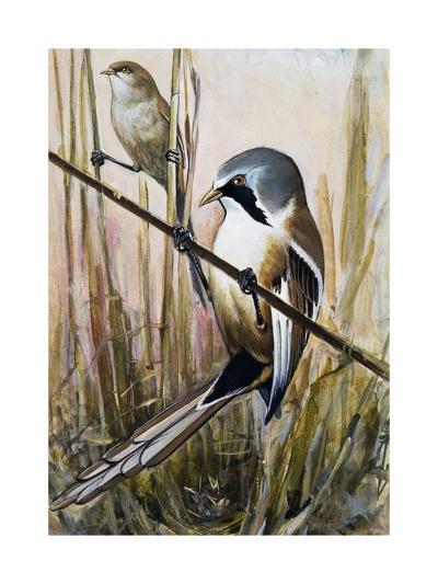 Bearded Parrotbill (Panurus Biarmicus), Timaliidae--Giclee Print