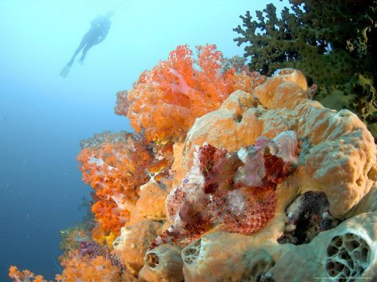Bearded Scorpion Fish on Coral, Indonesia-Mark Webster-Photographic Print