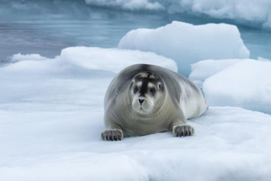 Bearded Seal (Erignathus barbatus) laying on pack ice, Spitsbergen Island, Svalbard Archipelago, Ar-G&M Therin-Weise-Photographic Print
