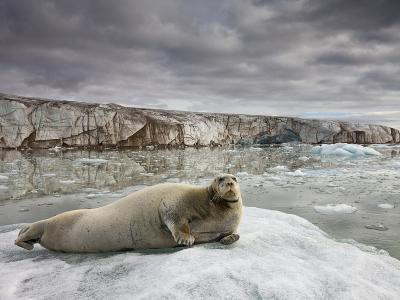 Bearded Seal on Iceberg in the Svalbard Islands-Paul Souders-Photographic Print