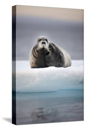 Bearded Seal, on Iceberg, Svalbard, Norway
