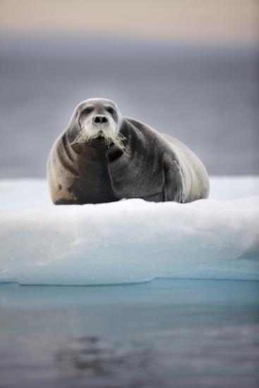 Bearded Seal, on Iceberg, Svalbard, Norway--Photographic Print