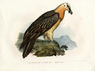 Bearded Vulture, 1864--Giclee Print