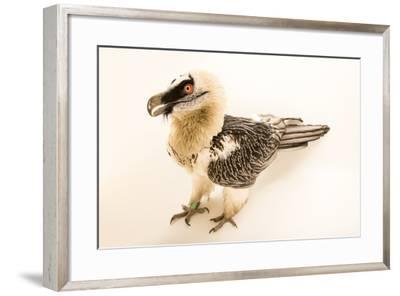 Bearded vulture, Gypaetus barbatus, at Parco Natura Viva, Bussolengo, Italy. -Joel Sartore-Framed Photographic Print