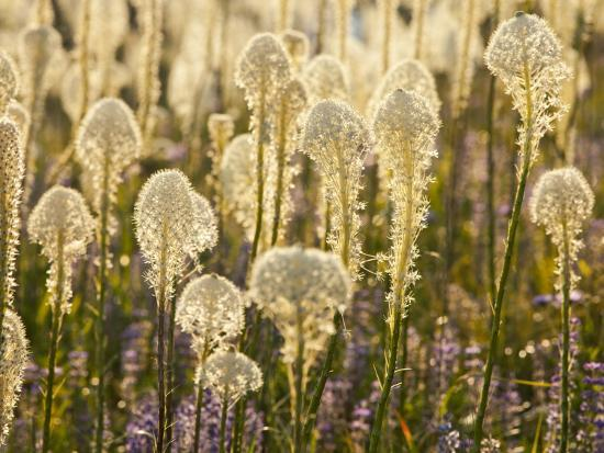 Beargrass and Lupine Backlit on the Slopes at Whitefish Mountain Resort, Whitefish, Montana, USA-Chuck Haney-Photographic Print