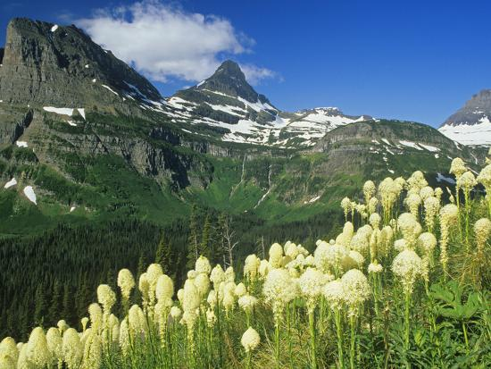 Beargrass Near Logan Pass in Gacier National Park, Montana, Usa-Chuck Haney-Photographic Print
