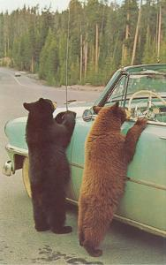 Bears Begging at Side of Car