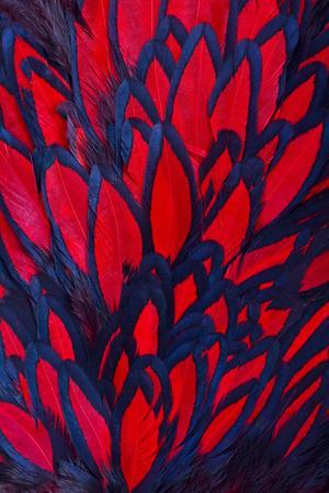 Beautiful Abstract Background Consisting of Red Hen Saddle Feathers-Keith Publicover-Photographic Print