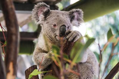 Beautiful and Awake Koala, Queensland, Australia, Pacific-Noelia Ramon-Photographic Print