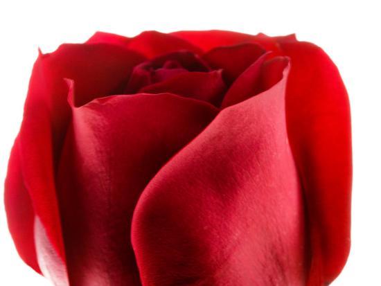 Beautiful and Elegant Red Rose--Photographic Print