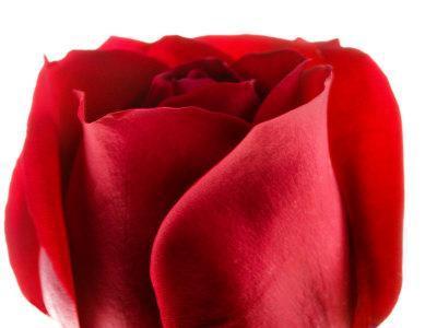 https://imgc.artprintimages.com/img/print/beautiful-and-elegant-red-rose_u-l-q10xas30.jpg?p=0