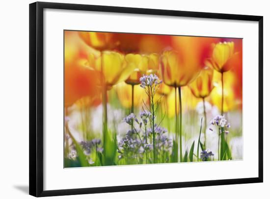 Beautiful Background with Yellow and Orange Tulips-Frank Krahmer-Framed Photographic Print