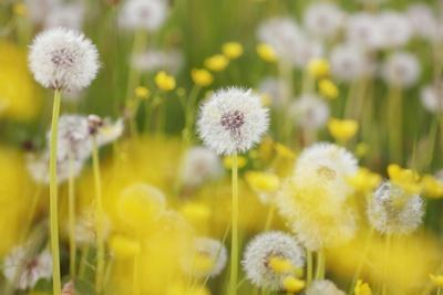 https://imgc.artprintimages.com/img/print/beautiful-background-with-yellow-and-white-dandelions_u-l-pzpphz0.jpg?p=0