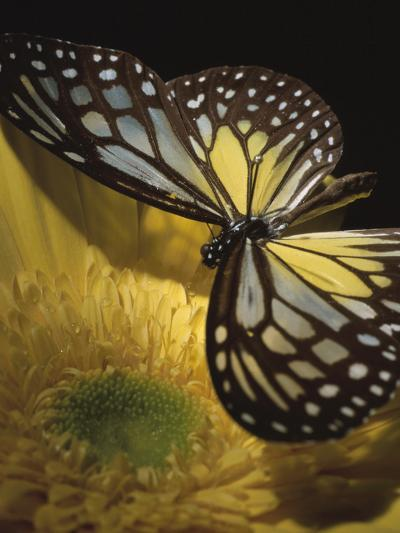 Beautiful Black and Yellow Butterfly on Blooming Yellow Flower--Photographic Print