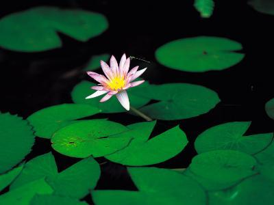 Beautiful Blooming Flowers and Lily Pads in Garden--Photographic Print