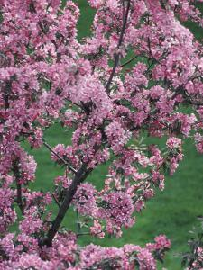 Beautiful Blooming Pink Tree Blossoms Near Ottawa