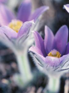 Beautiful Blooming Purple and Yellow Pasque Flowers