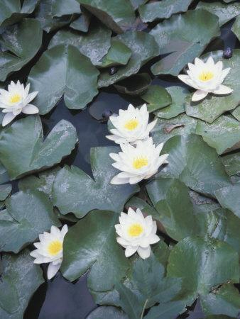 https://imgc.artprintimages.com/img/print/beautiful-blooming-water-lilies-floating-on-pond_u-l-q10x6jg0.jpg?p=0