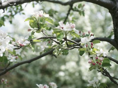 Beautiful Blooming White Fruit Blossoms on Bough on Tree--Photographic Print