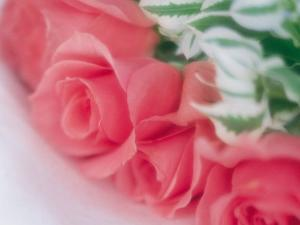 Beautiful Boquet of Blooming Pink Roses