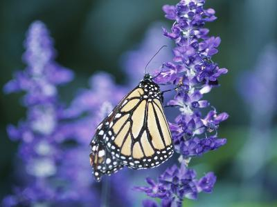 Beautiful Butterfly on Blooming Purple Flower--Photographic Print