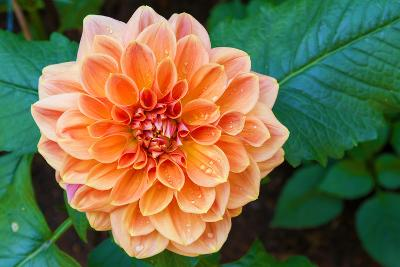 Beautiful Dahlia Flower and Water Drop in Garden- luckypic-Photographic Print