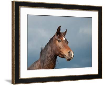 Beautiful Dark Bay Arabian Horse Against Stormy Skies-Sari ONeal-Framed Photographic Print